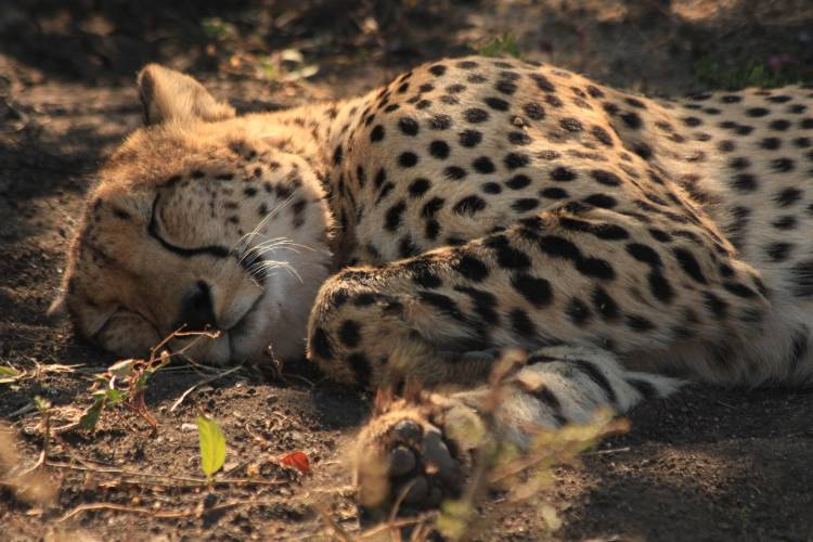 a defect cheetah collar was successfully removed blog rhulani